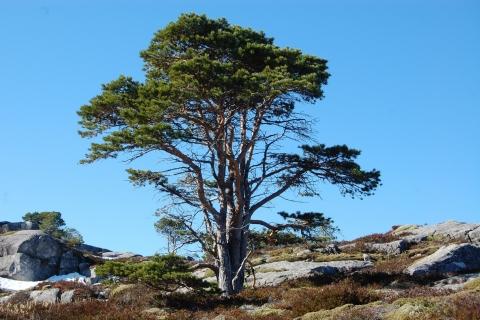 6. Kystfurua er et flott innslag på Hamnfjellet. Foto: Bjørg Helene Andorsen